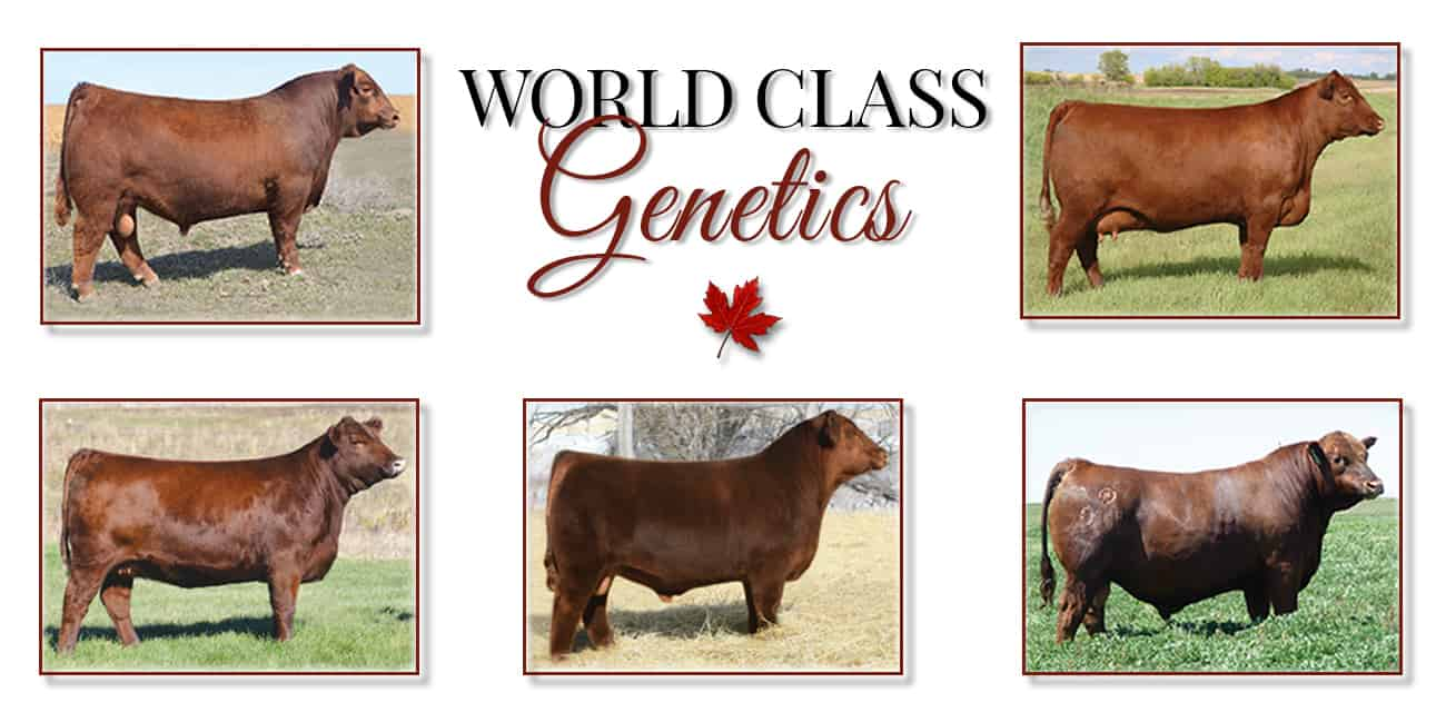 Maple Oaks Red Angus World Class Genetics
